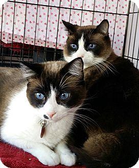 Siamese Cat for adoption in Palmdale, California - Kahlua & Kona