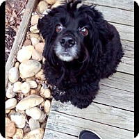 Cocker Spaniel Dog for adoption in Marlton, New Jersey - Lucky