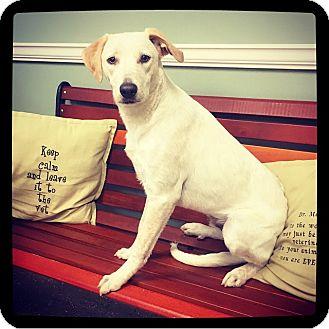 Labrador Retriever/Pointer Mix Puppy for adoption in Grand Bay, Alabama - Kermit