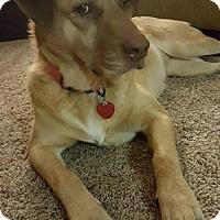 Adopt A Pet :: Amber - Seattle, WA