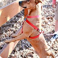 Adopt A Pet :: Duke - Dallas, TX