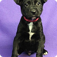 Adopt A Pet :: KEVIN - Westminster, CO