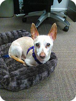 Chihuahua Dog for adoption in Mastic Beach, New York - COWBOY!!