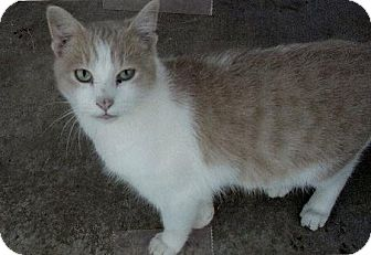 Domestic Shorthair Cat for adoption in Moulton, Alabama - Maxx