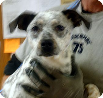 Australian Cattle Dog/Labrador Retriever Mix Dog for adoption in baltimore, Maryland - Dottie