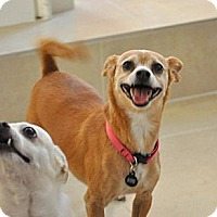 Adopt A Pet :: Ginger- great walking partner! - Bellflower, CA