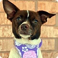 Adopt A Pet :: Happy-Adoption pending - Bridgeton, MO