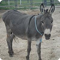 Adopt A Pet :: Harold - Bennett, CO