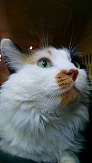 Domestic Mediumhair Cat for adoption in Tucson, Arizona - Jade