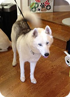 Siberian Husky Mix Dog for adoption in Garland, Texas - Luka