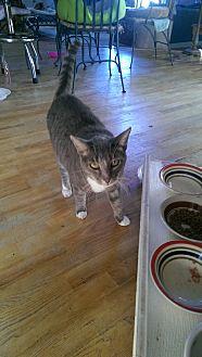 Domestic Shorthair Cat for adoption in Bonita Springs, Florida - Derry