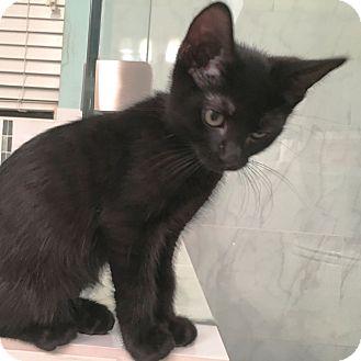 Domestic Shorthair Kitten for adoption in Arlington/Ft Worth, Texas - Ike