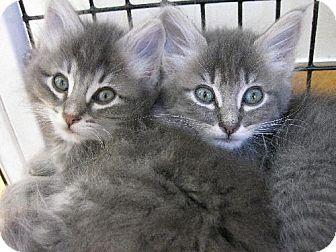 Domestic Shorthair Kitten for adoption in Burlingame, California - Kittens Available!