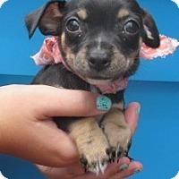 Adopt A Pet :: C1007-M   Carmine - Bay Springs, MS
