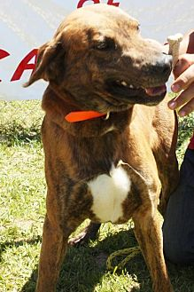 Boxer Mix Dog for adoption in Grayson, Louisiana - Samson