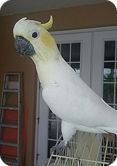 Cockatoo for adoption in Tampa, Florida - Molly
