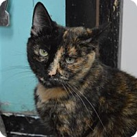 Domestic Shorthair Cat for adoption in Monroe, Michigan - Samantha