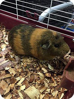 Guinea Pig for adoption in Paramus, New Jersey - Lena