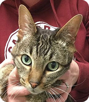 Domestic Shorthair Cat for adoption in St. Louis, Missouri - Ruby