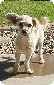 Maltese/Poodle (Miniature) Mix Dog for adoption in Tempe, Arizona - Leonard