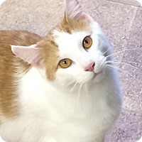 Domestic Shorthair Cat for adoption in Albion, New York - Teegra