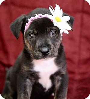 Labrador Retriever/Hound (Unknown Type) Mix Dog for adoption in Picayune, Mississippi - Chloe