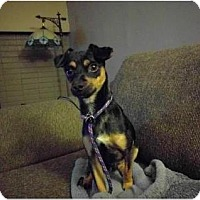 Miniature Pinscher Dog for adoption in Mission, Kansas - Buffalo