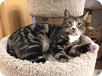 Domestic Shorthair Cat for adoption in Brea, California - MARLEY