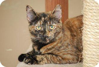 Calico Cat for adoption in Bensalem, Pennsylvania - Taz