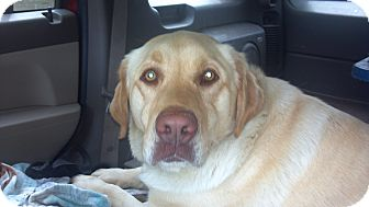 Labrador Retriever Dog for adoption in Hazard, Kentucky - Bella