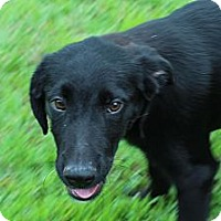 Adopt A Pet :: Onyx (In New England) - Brattleboro, VT