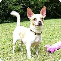 Adopt A Pet :: Pinot - Mocksville, NC