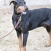 Adopt A Pet :: Moto - killeen, TX