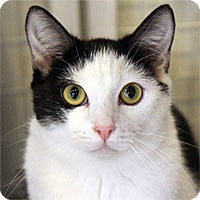 Domestic Shorthair Cat for adoption in Pacific Grove, California - Astrid