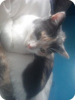 Calico Cat for adoption in Bay City, Michigan - Callie