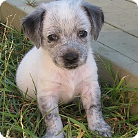 Adopt A Pet :: Pepper - Torrance, CA