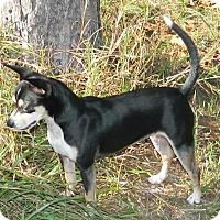 Adopt A Pet :: Piper - Umatilla, FL