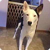 Adopt A Pet :: Capone - Valparaiso, IN