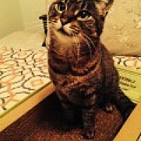 Domestic Shorthair Cat for adoption in Bryn Mawr, Pennsylvania - Harmony/lap cat