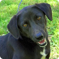 Adopt A Pet :: Scottie- Wonderful Dog! Lower Fee! - Yardley, PA