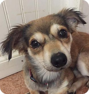Terrier (Unknown Type, Medium)/Chihuahua Mix Dog for adoption in Spartanburg, South Carolina - Foxy Roxy