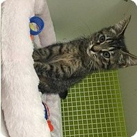 Adopt A Pet :: Terza - San Antonio, TX