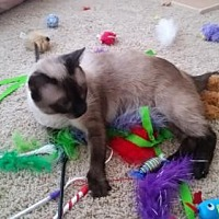 Siamese Cat for adoption in Austin, Texas - Zira II