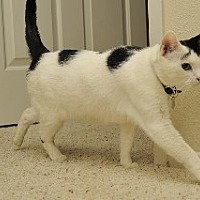 Domestic Shorthair Cat for adoption in Santa Monica, California - Chloe