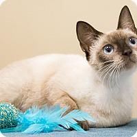 Siamese Cat for adoption in Chicago, Illinois - Serafina
