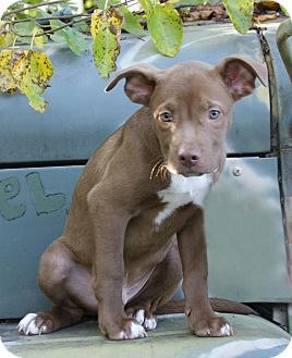 American Pit Bull Terrier/Catahoula Leopard Dog Mix Puppy for adoption in Dayton, Ohio - Grant