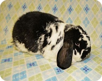 Mini Lop for adoption in Chesterfield, Missouri - Vago