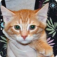 Domestic Shorthair Kitten for adoption in Wildomar, California - 319755