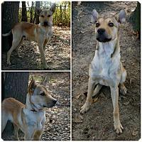 Shepherd (Unknown Type)/Carolina Dog Mix Puppy for adoption in Bishopville, South Carolina - Benjamin