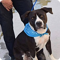 Pit Bull Terrier Mix Dog for adoption in Durham, North Carolina - Bixby